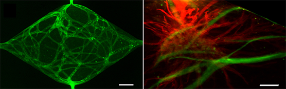 In the left image, microvessel networks are labeled with a green fluorescent dye. In the right image, microvessels (red) are networked into human heart tissue (green).