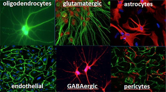 Brain tissue contains multiple types of cells, which are included in this chip system. The major cell types are shown above.