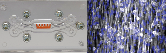 The image on the left shows the cardiac (heart) chip under development at Harvard University, including the cantilevers that enable cardiac contraction. The image on the right depicts normal heart cells aligned on the cardiac chip.
