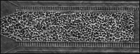 NIH-supported scientists at the University of California, Berkeley, are working on a tissue chip that supports human fat tissue. This image shows the fat tissue flanked by channels that provide nutrients to keep the tissue alive.