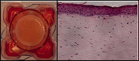 The photograph on the left shows the chip device seeded with skin cells that scientists developed from induced pluripotent stem cells.