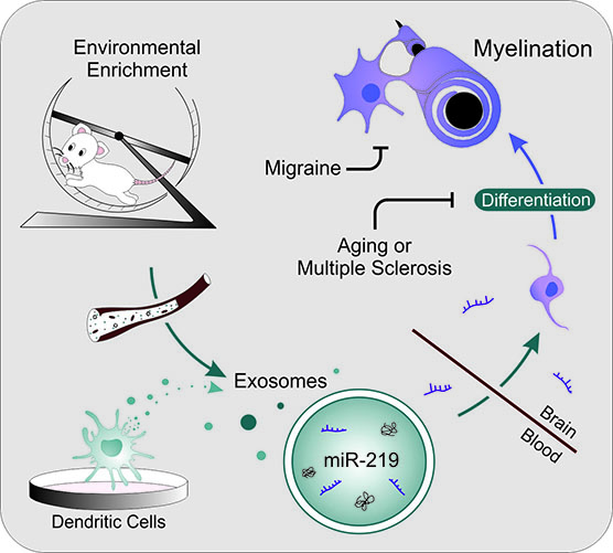 Graphic showing how exRNA molecules released from immune cells can enhance myelination and thus counteract the de-myelinating effects of conditions including aging, migraine and MS.