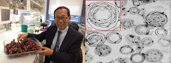 Left: Huang-Ge Zhang in a laboratory holding a dish of red grapes. Right: microscopic image of exosome-like particles from grapes.