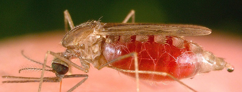Anopheles freeborni mosquito pumping blood.